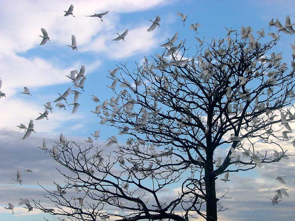 garças em uma árvore na ilha do marajó