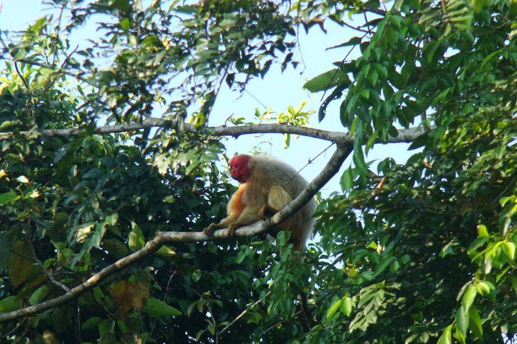 macaco uacari em uma arvore na reserva de mamiraua