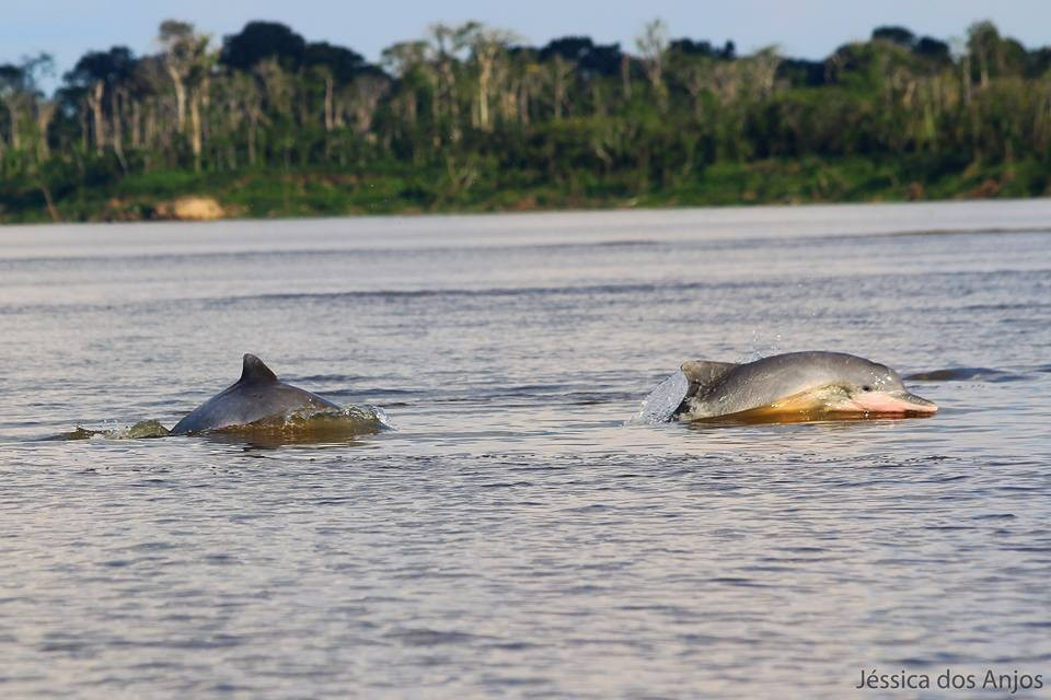 grupo de botos nadando na reserva de mamiraua