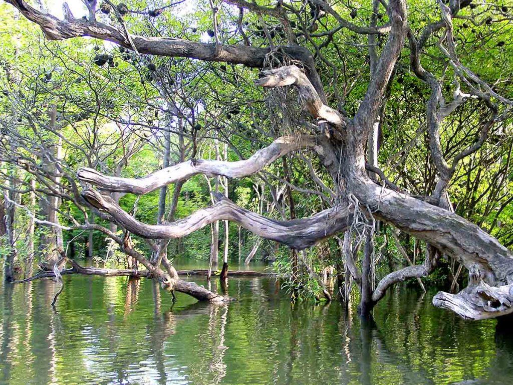 uma linda imagem de uma árvore em uma região de floresta alagada na ilha de marajó